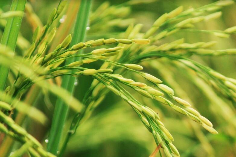 镉成农田首要污染 食品安全还需看土壤治理