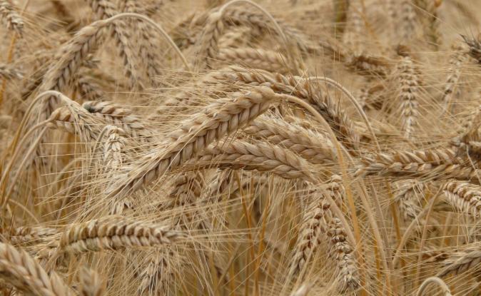 找到黄矮病关键因子 基因技术助力农业显奇效